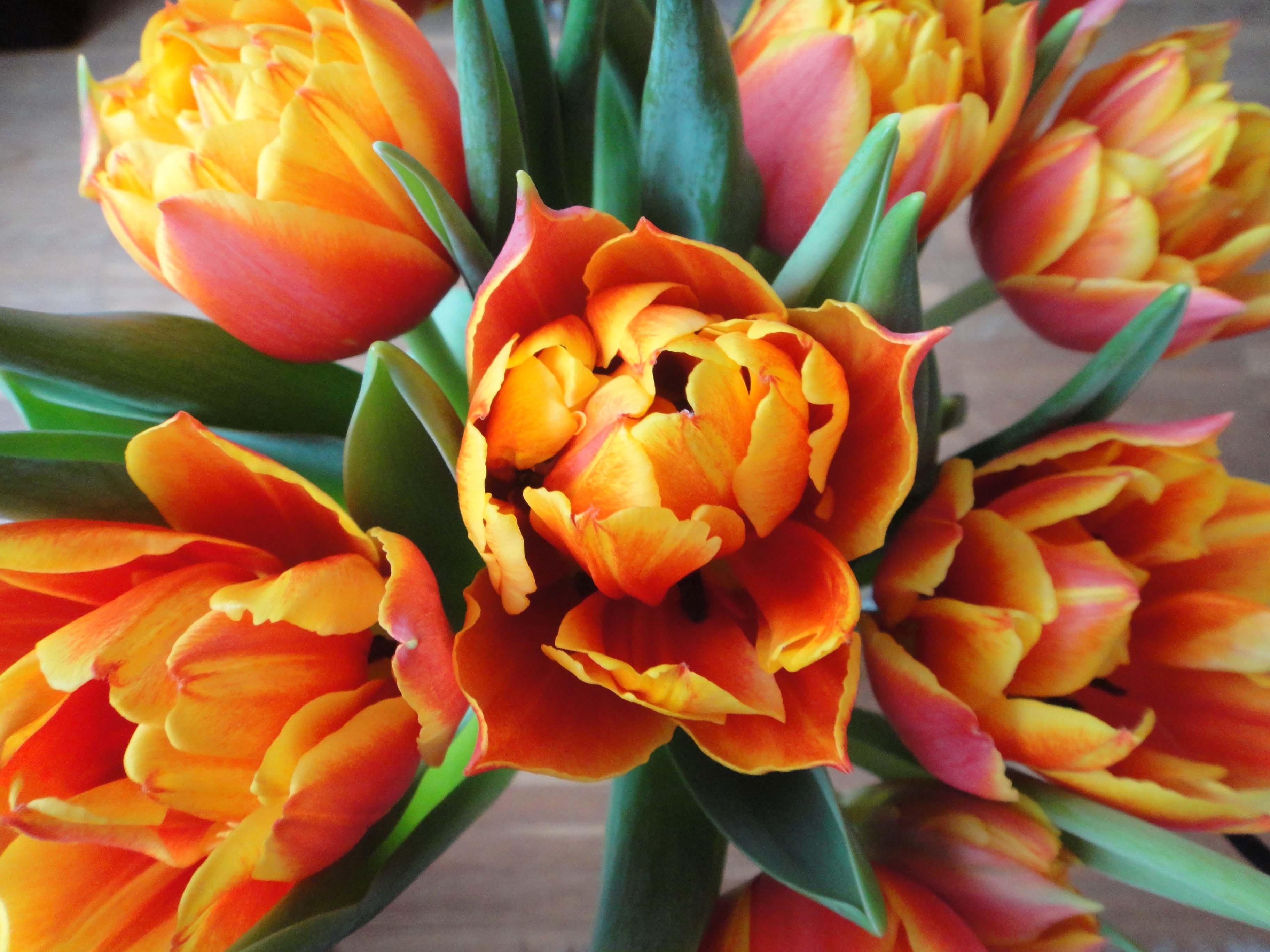 tulips Tulpen