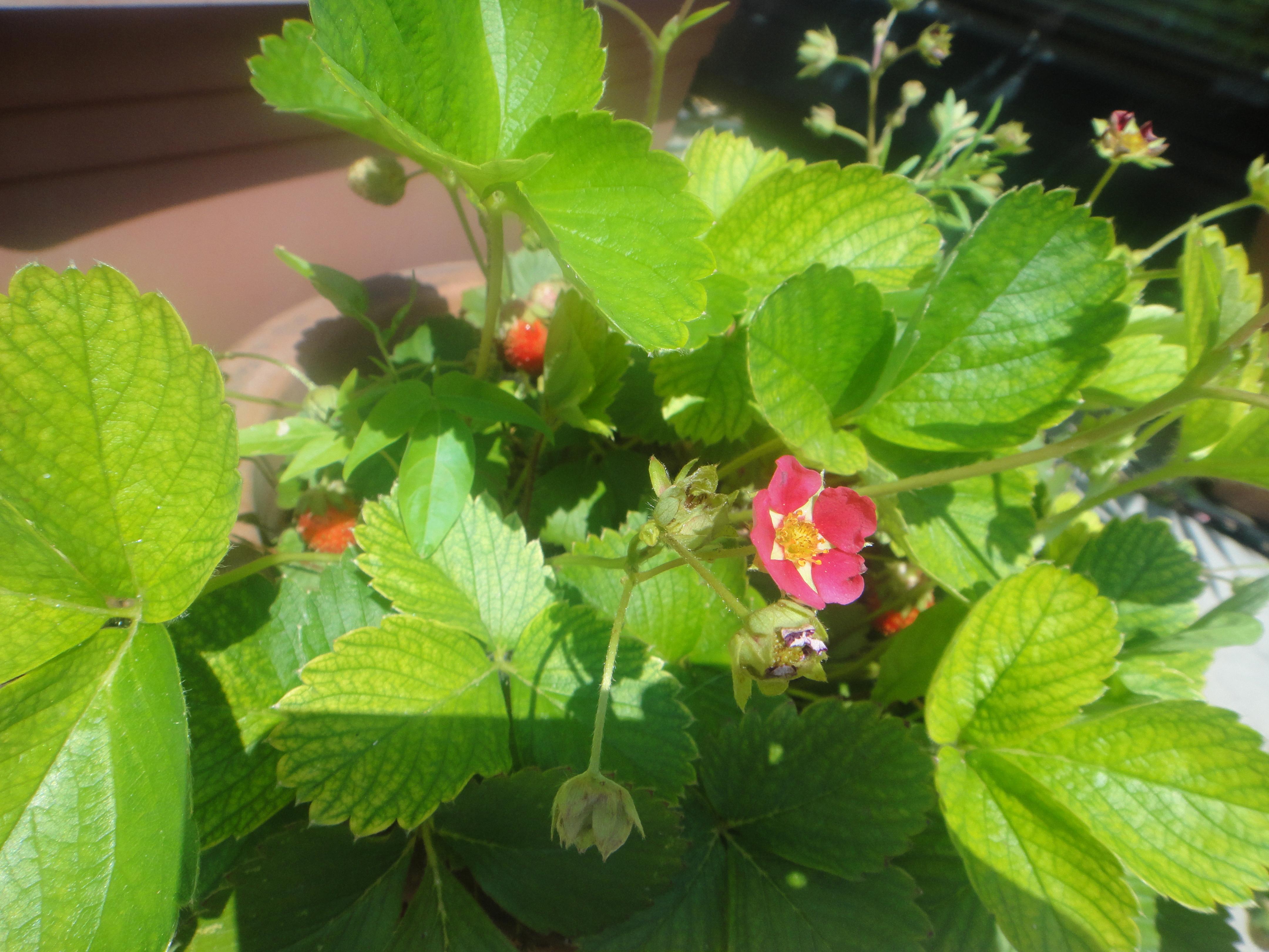 unsere Erdbeeren