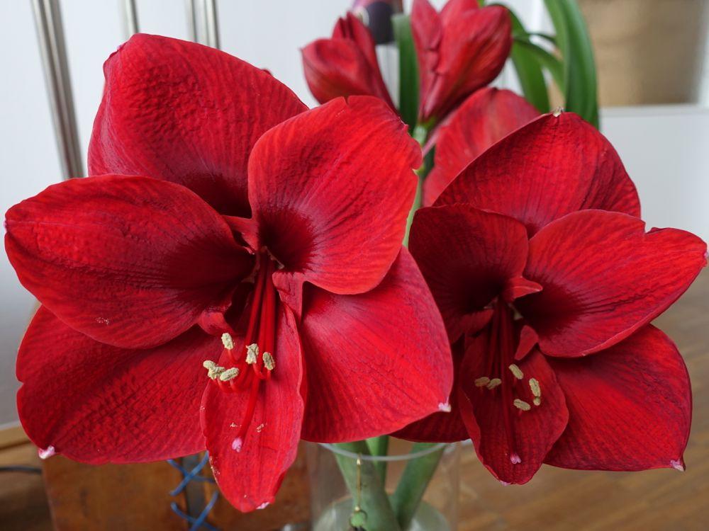 my favorite flower - Amaryllis - meine Lieblingsblume