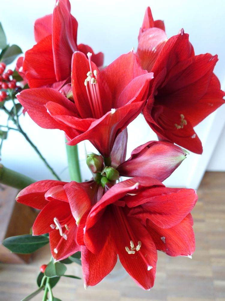 HappyFace313-Amaryllis-It's-not-this-time-of-year-3