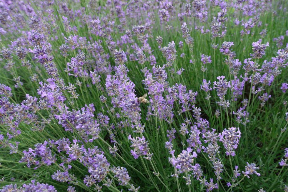 Lavendel-Lavender
