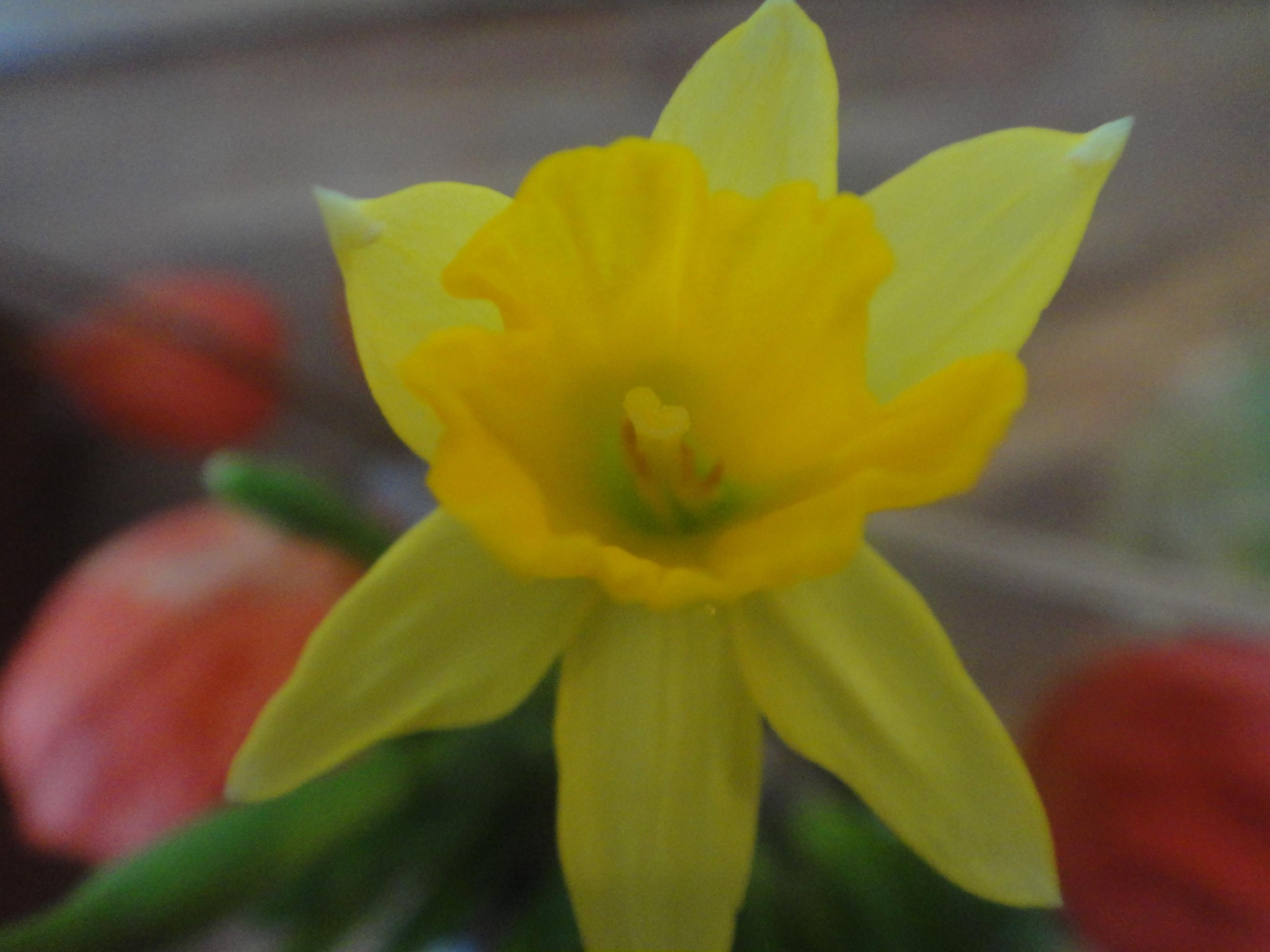 first messenger of spring - erster Frühlingsbote