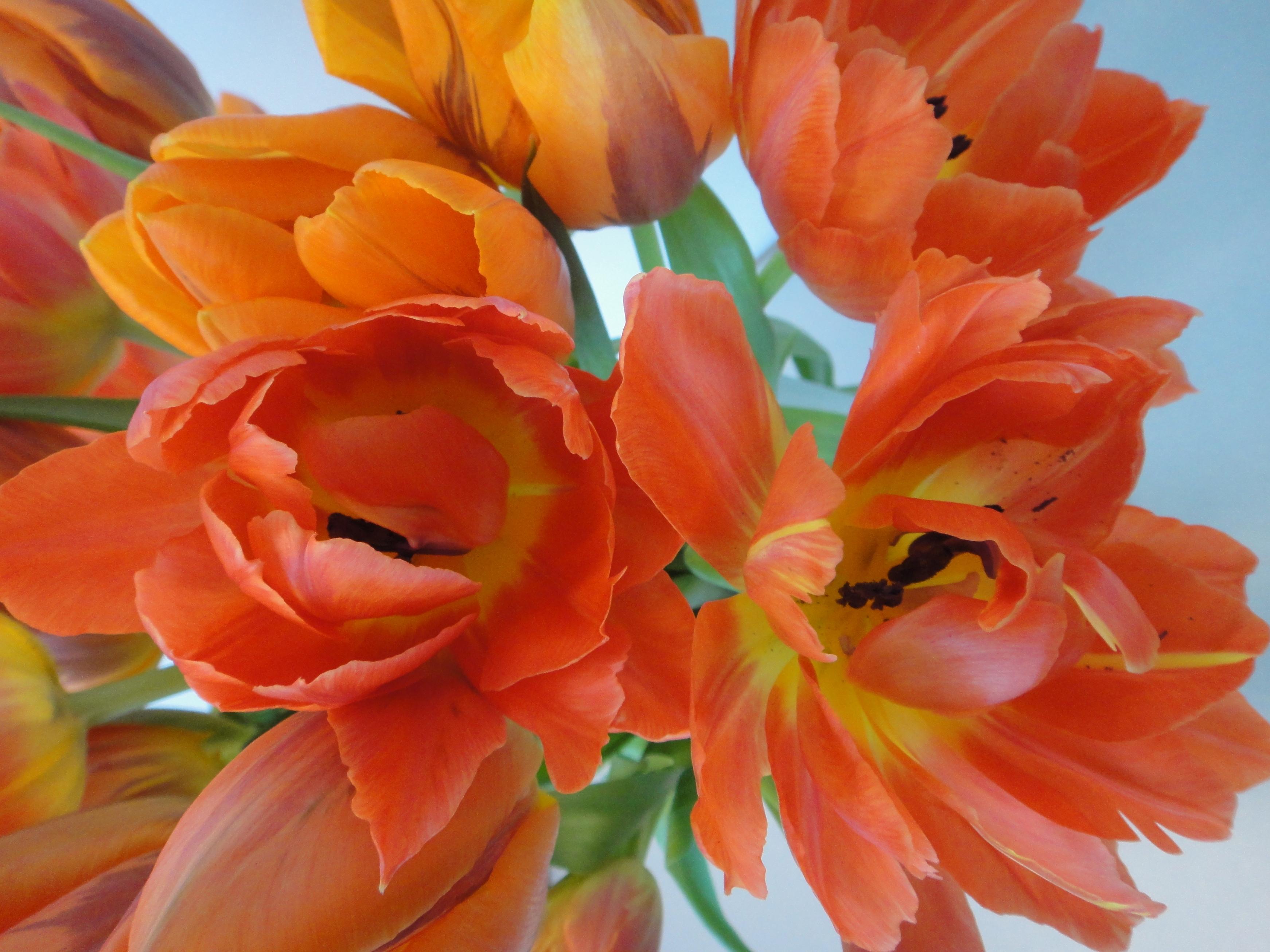 tulips in full bloom - Tulpen in voller Blüte