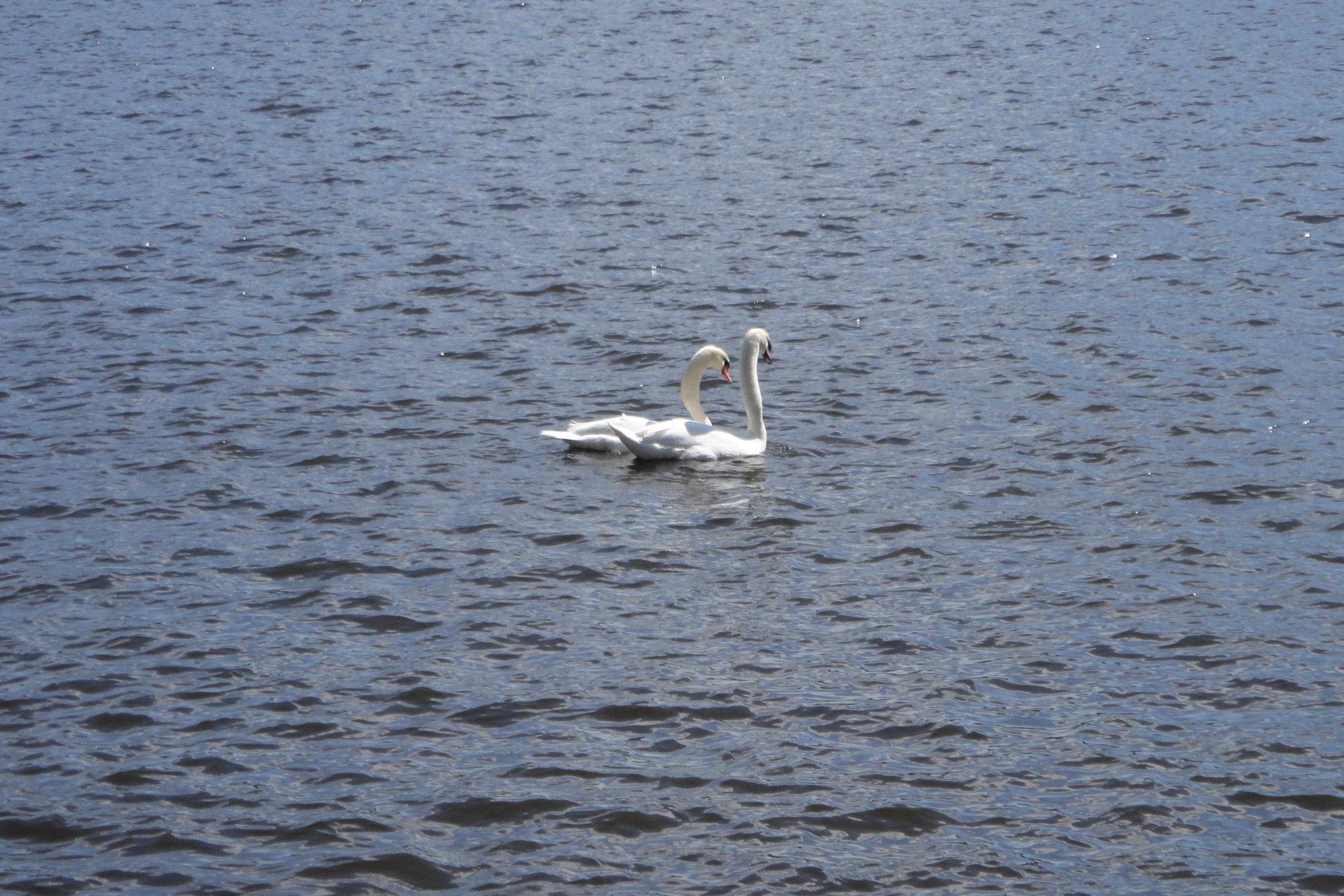 happy swans  - glückliche Schwäne