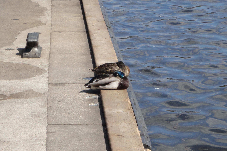 snoring (?) ducks - schnarchende (?) Entlein