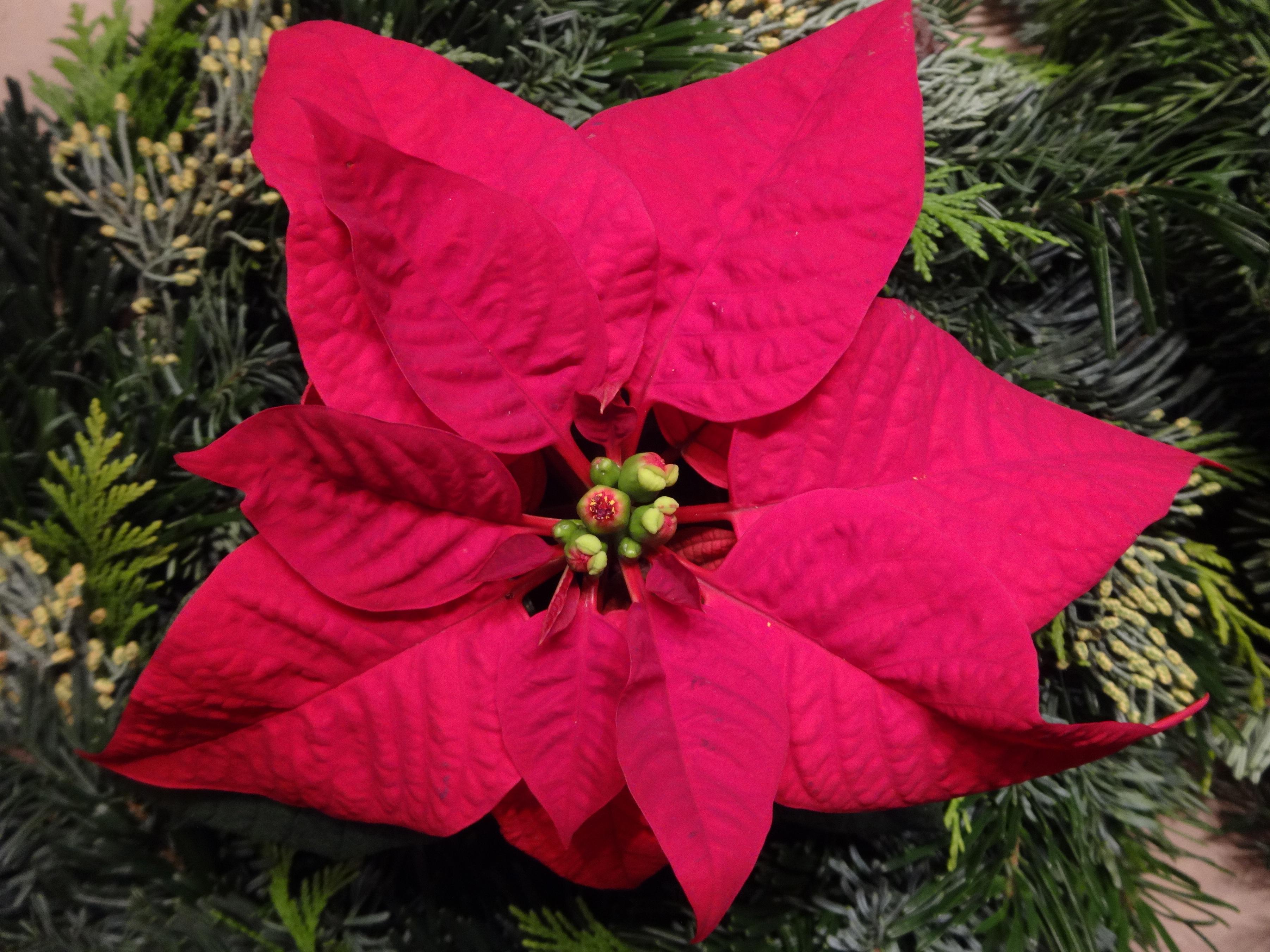 Poinsettia / Weihnachtsstern