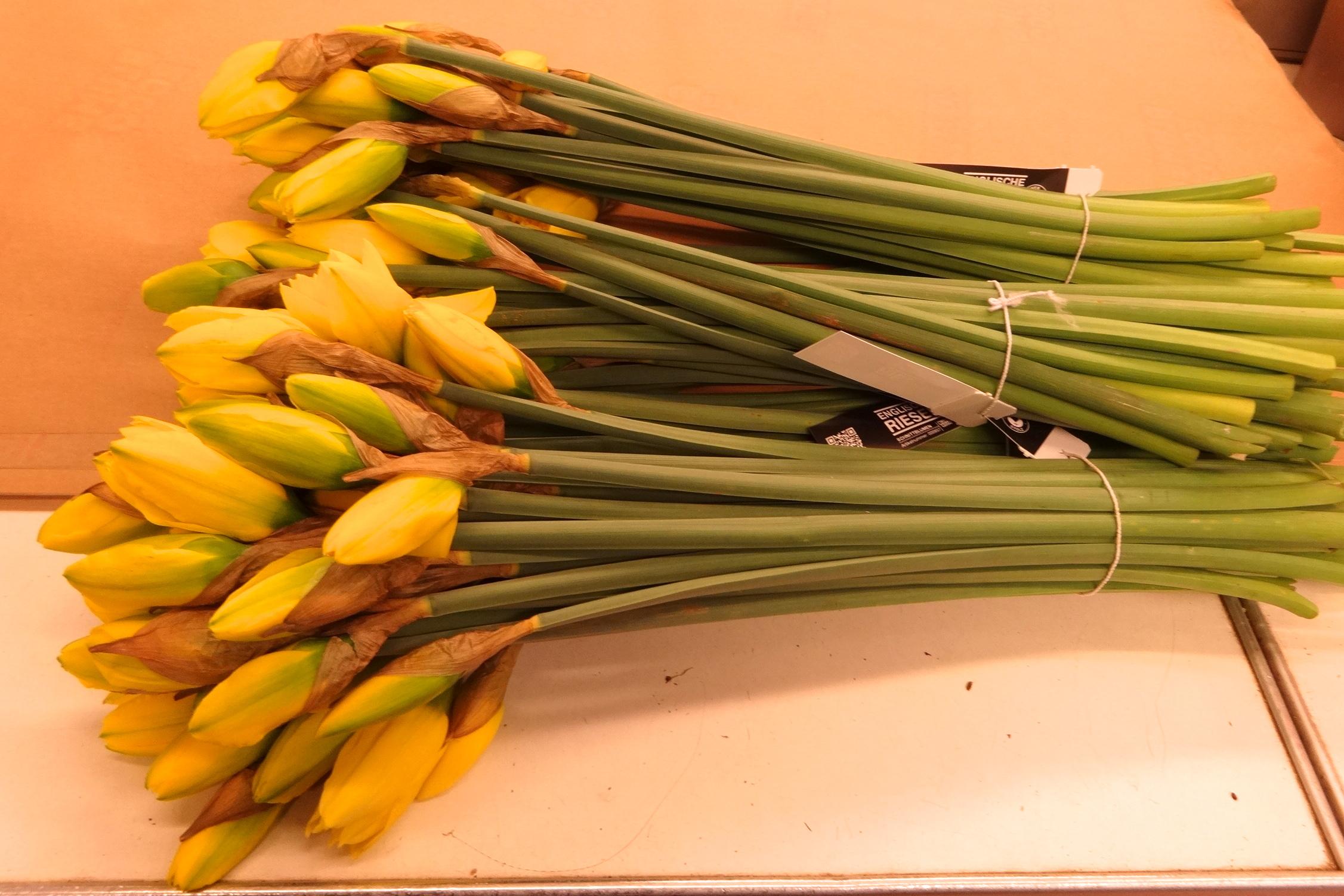 120 Osterglocken Daffodils Narzissen