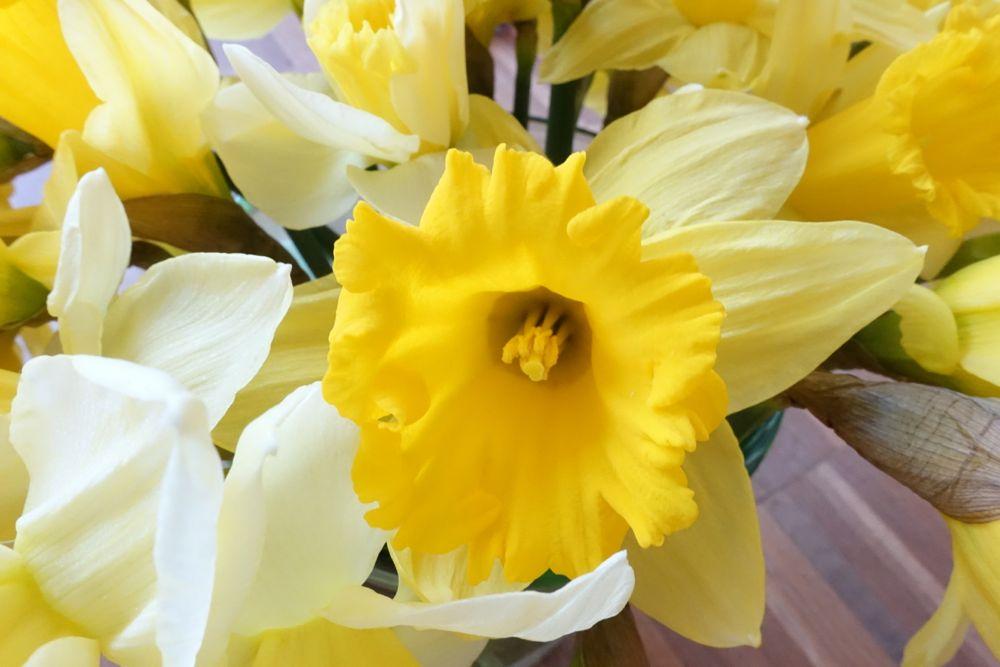 HappyFace313-daffodils-Narzissen-1