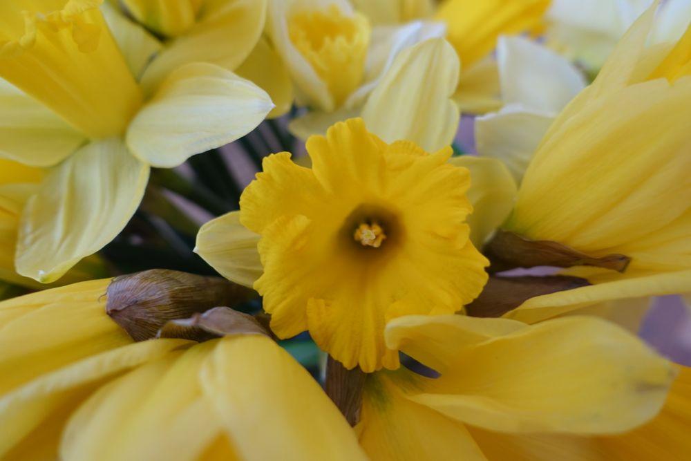 HappyFace313-daffodils-Narzissen-2