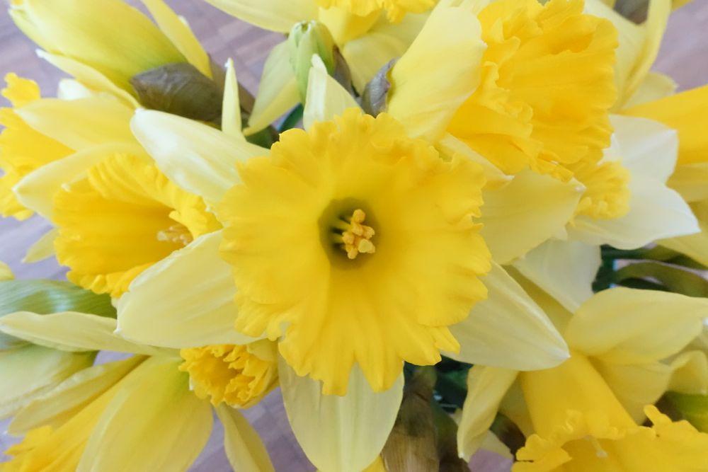 HappyFace313-daffodils-Narzissen-3
