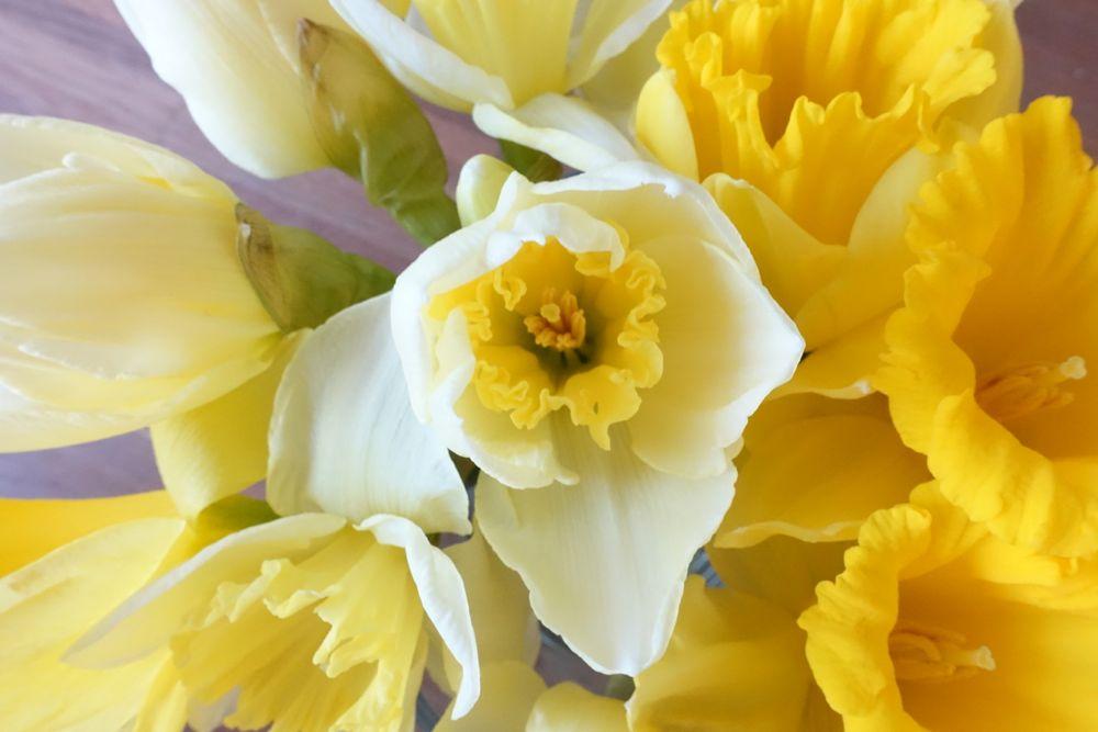 HappyFace313-daffodils-Narzissen-4