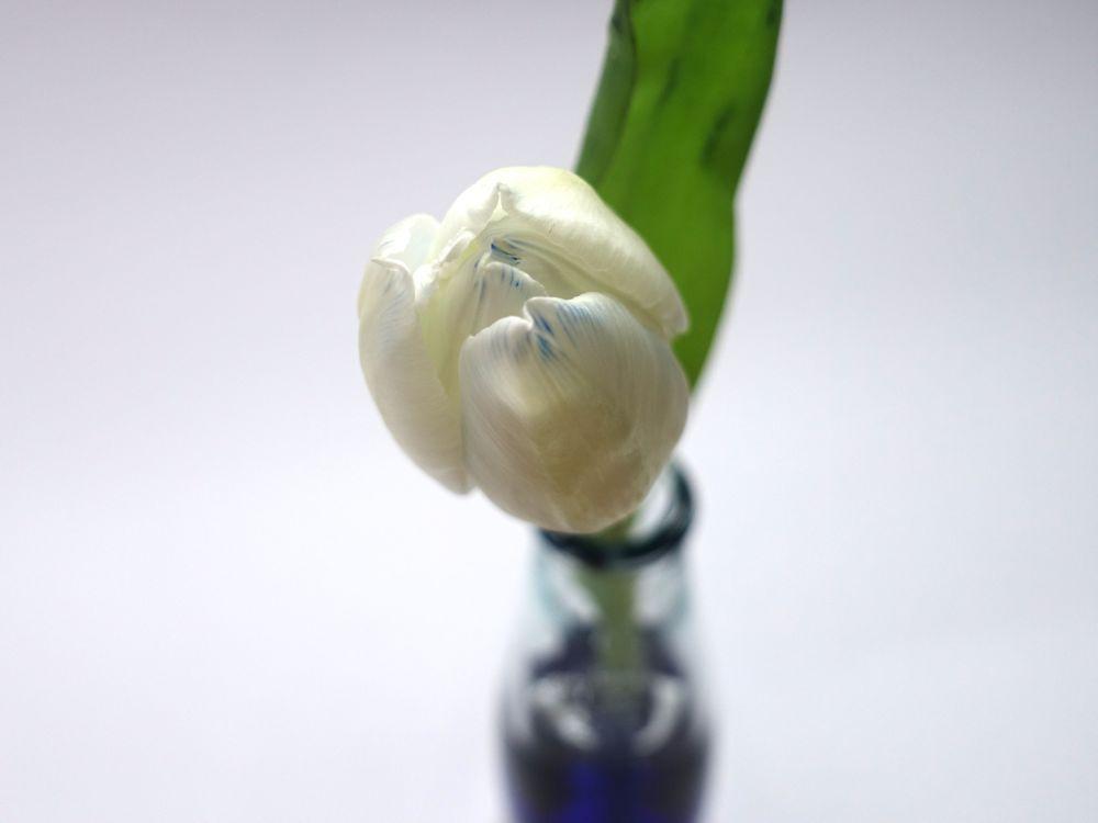 HappyFace313-wir-machen-blau-tulpe