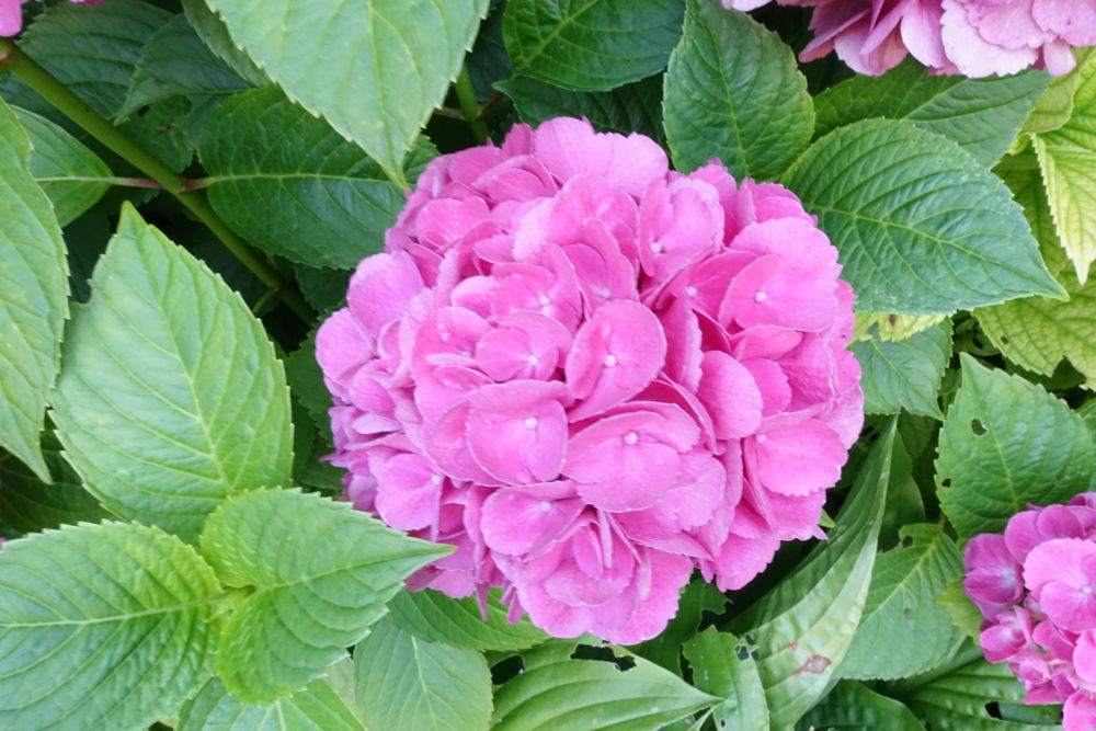 HappyFace313-Flower-of-the-day-hydrangea-2