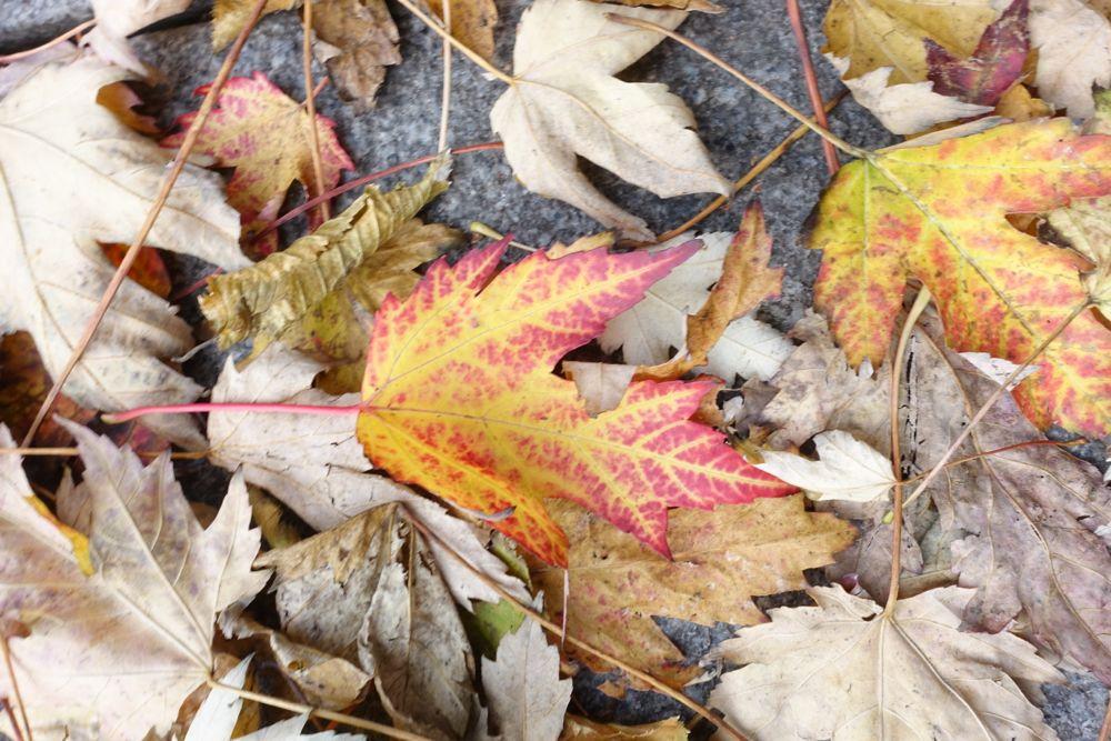 happyface313-goldener-oktober-ahorn