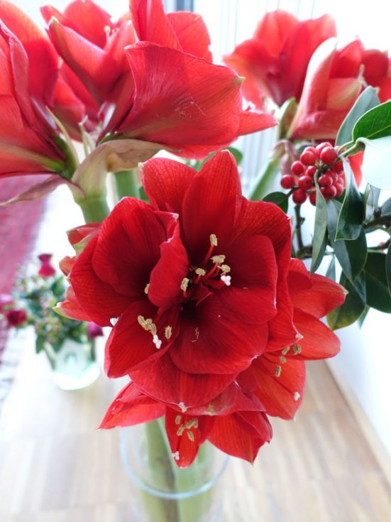 HappyFace313-Amaryllis-not-this-time-of-year-
